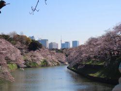 千鳥ヶ淵の桜が満開になった画像です。