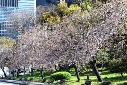 馬場先広場の桜並木の様子の画像です。