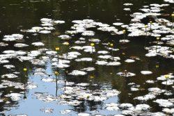 東御苑内二の丸庭園で見られるヒメコウホネの画像です。