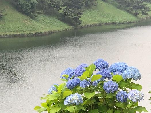 桜田濠で咲くアジサイ