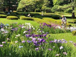 二の丸庭園の菖蒲の画像