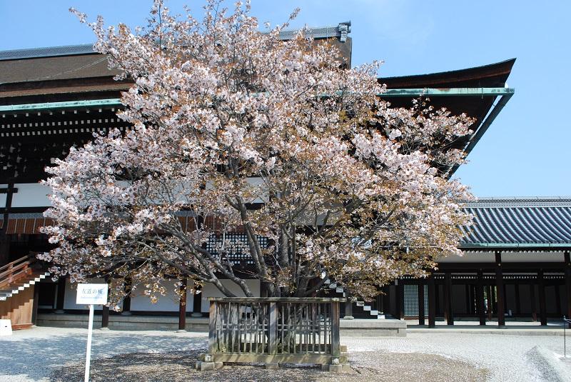 左近の桜.jpg
